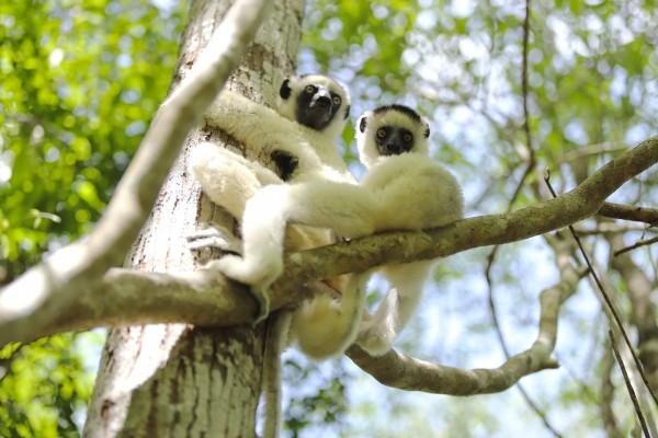 시파카 원숭이: 뭘봐?, 무른다바, 마다가스카르