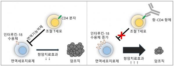 항-CD4 항체에 의한 면역세포치료제의 항암치료효과 향상기전